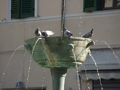 Голуби в жару