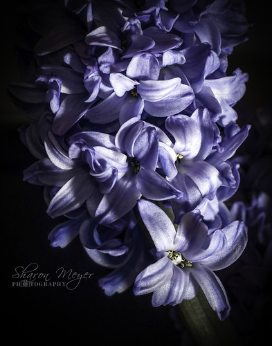 Hyacinths are by Sharon Meyer