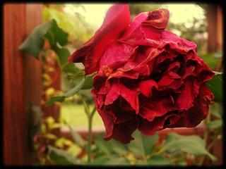 Wilting Rose v2