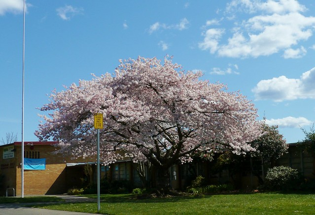Seattle's Best Cherry Tree?