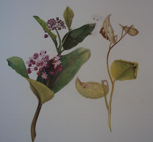 milkweed by levans1671
