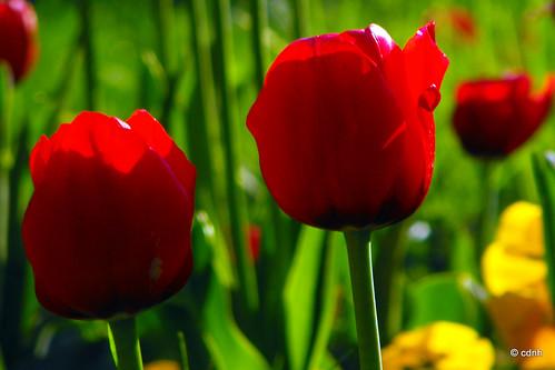 """Tulipa sp. ("""" Lalele !... Lalele ! ..."""" ) by cdnh"""