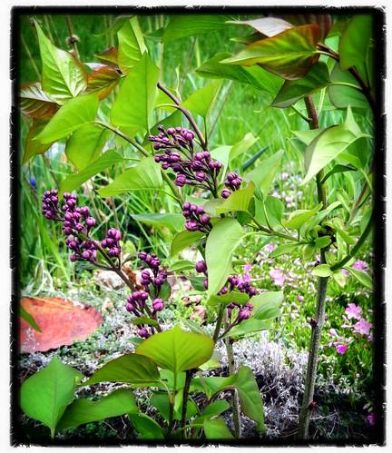 Spokane lilac