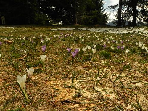 Crocus du printemps=Crocus albiflorus