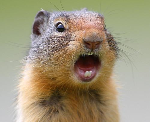 [フリー画像素材] 動物 1, 栗鼠・リス, 動物 - 口を開ける ID:201206241600