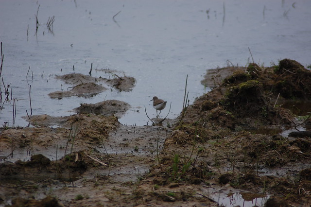 A sandpiper picking through mudflats