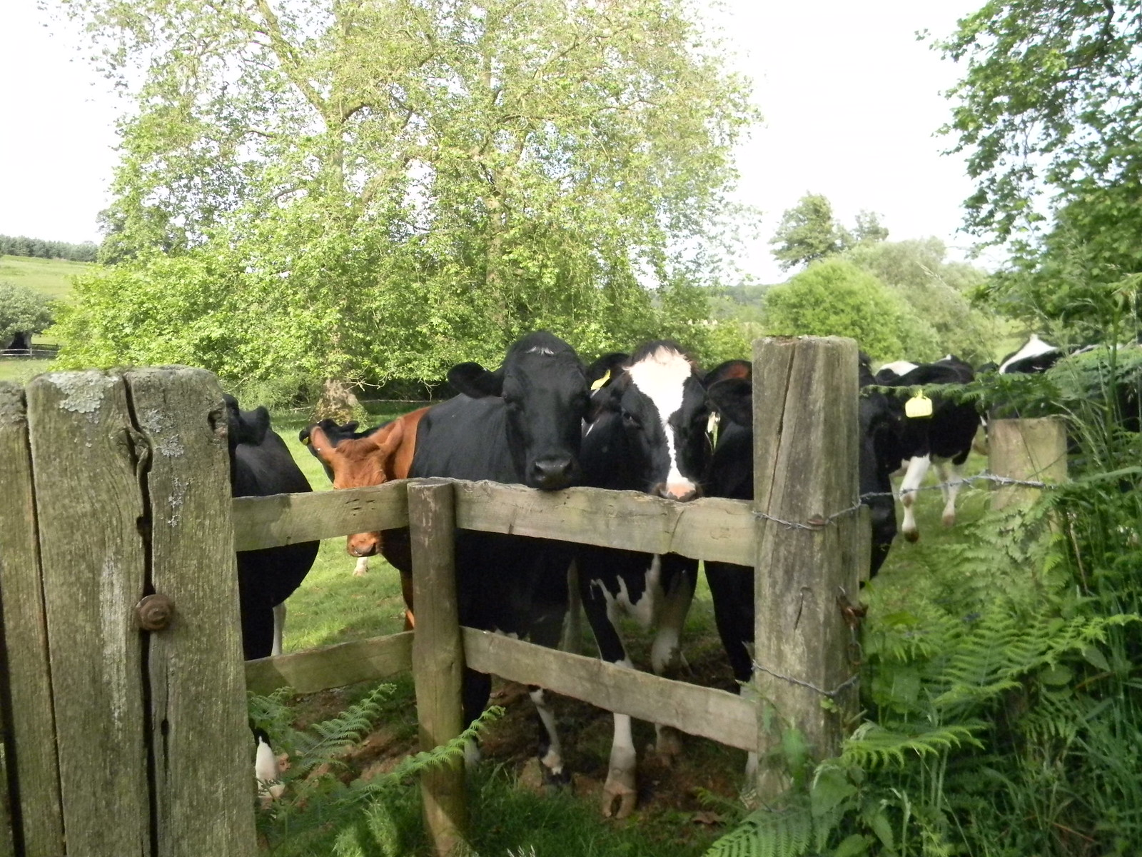 Cows getting in the way Haslemere to Midhurst