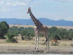 Giraffe - Sweetwaters