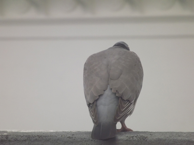 grumpy_pigeon