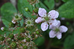 The blackberries blossom in June at Rosentorget 10