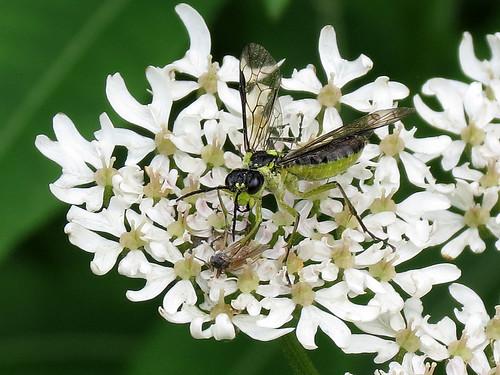 Sawfly - Tenthredo mesomelas