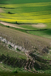 Sheeps running on flower fields, Umbria - Italy