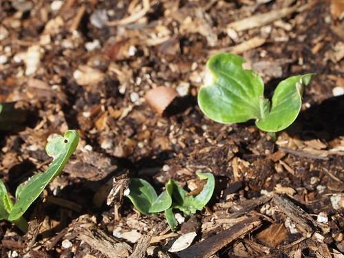 Zucchini Sprouts - 2