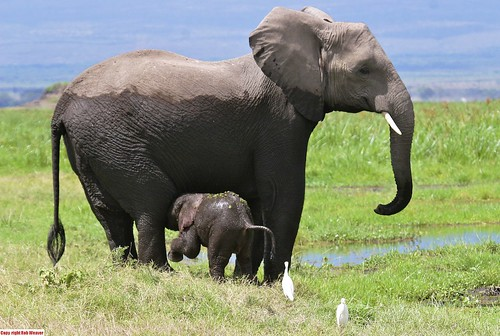 7555987790 0a4509fa31 African Elephants Slaughtered For Ivory