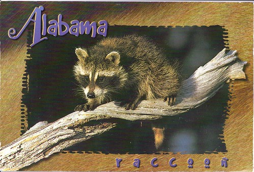 Alabama Raccoon