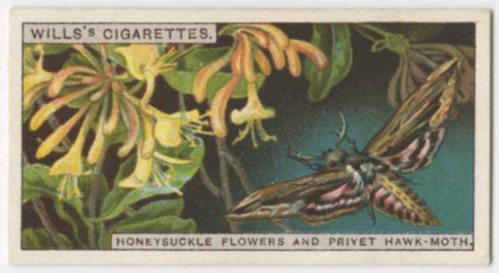 1924 Wills's Do You Know Honeysuckle Flowers and Privet Hawk-Moth
