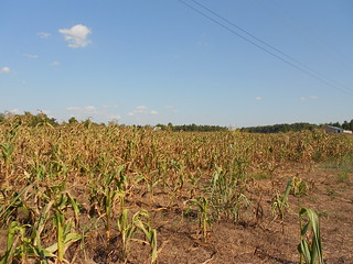 Drought Stressed Corn 013