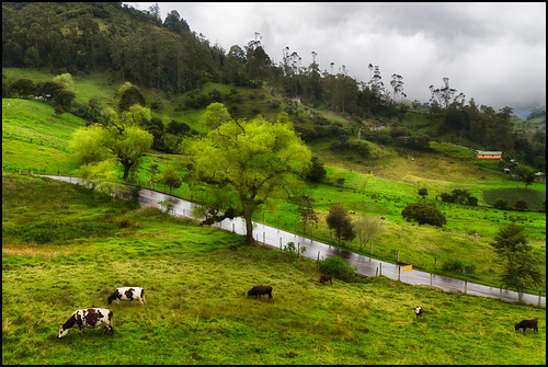 plant color tree green landscape cow colombia 2012 cundinamarca choachi canon7d canonefs1585is mygearandme mygearandmepremium mygearandmebronze mygearandmesilver