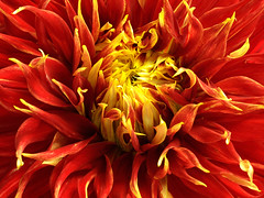 Dahlia - Show and Tell