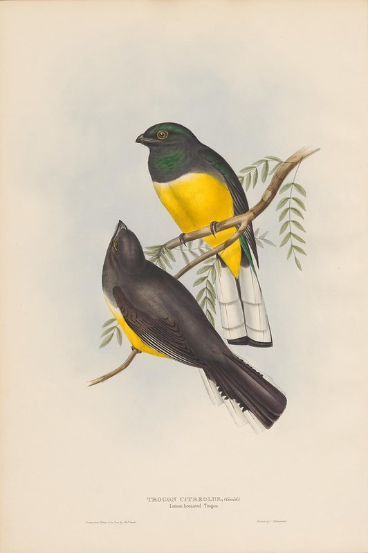 Trogon species illustration 1830s natural history book