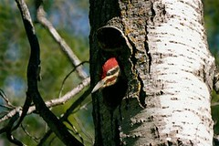 Male Pileated Woodpecker Nr Cold Lake Alberta (Dickey)