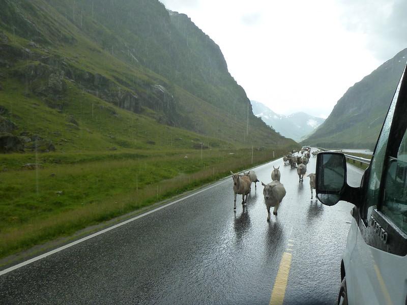 Ovce a kozy boli všade, aj na ceste