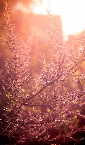 pink light sunset red summer sky orange plant flower nature grass yellow photoshop canon project eos rebel 50mm austria colorful europe dof sundown blossom bokeh f14 sunny days adobe bloom late 365 dslr 550d t2i itslegitx