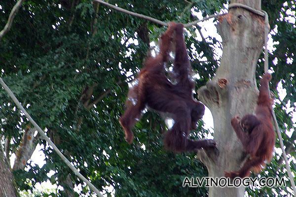 Playful orang utans