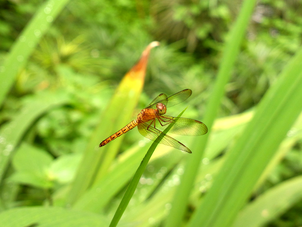 Nokia 808 Pureview @ Orange Dragonfly