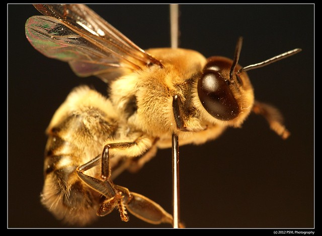 Drone Honey Bee (Apis mellifera)