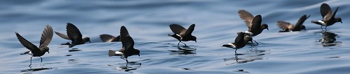 Eliot storm petrels Pelagic birding with Nature Expeditions in Peru