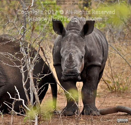 china india cub adult market confine center safari southkorea calf tow enclosure horned whiterhino subspecies onehorned