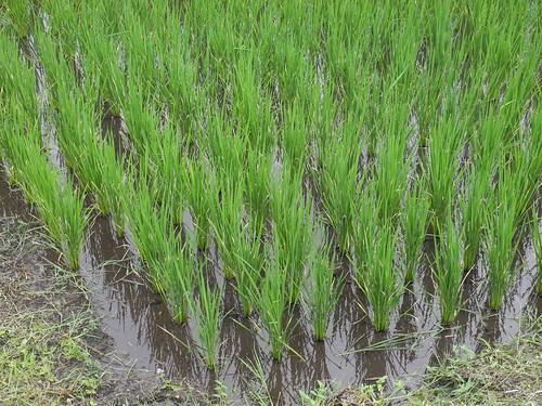 石梯坪水梯田海稻米退場之後,留下一甲地種植糯米。