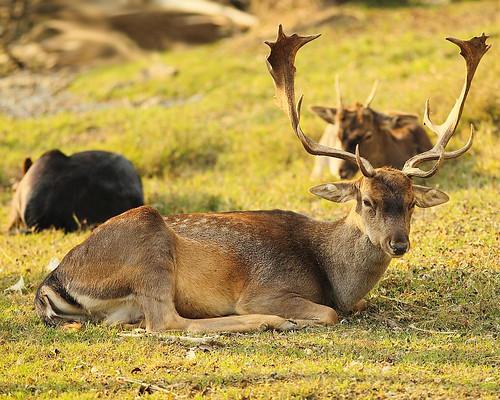 Daino - Dama dama - Fallow deer by robertovillaopere