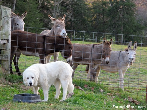 Dinnertime for Daisy, with donkeys (4) - FarmgirlFare.com