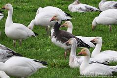 Snow  Geese - Blue Morph
