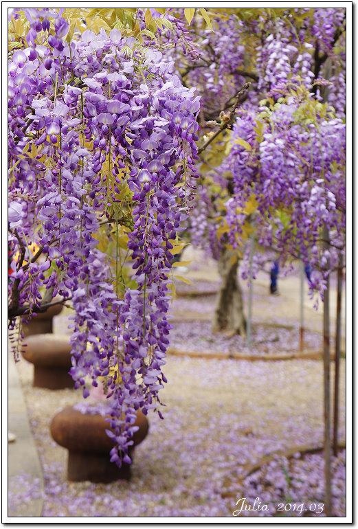 紫藤、老梅 (6)