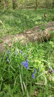 First Bluebells of Spring 2014