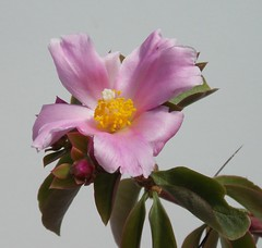 Pereskia grandifolia ssp. grandifolia