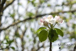 Apfelblüte | Projekt 365 | Tag 116