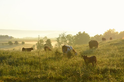 morning mist mountains field animals misty fog rural sunrise landscape outside outdoors photography cow nikon warm cows pennsylvania farm farming foggy pa pasture valley dairy nikkor livestock mammals appalachia farmanimal grazing warmlight bluemountain appalachianmountains photooftheday dairycow lebanoncounty lebanonvalley lebanonpa nikonphotography fredericksburgpa nikkorafs50mm118g nikond7200 saltydogphoto