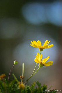 Two Yellow Flowers