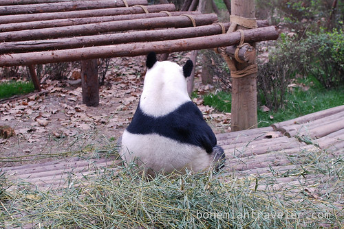 Pandas in Chengdu China 17