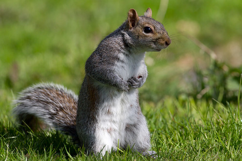 IMG_5066 Grey  Squirrel