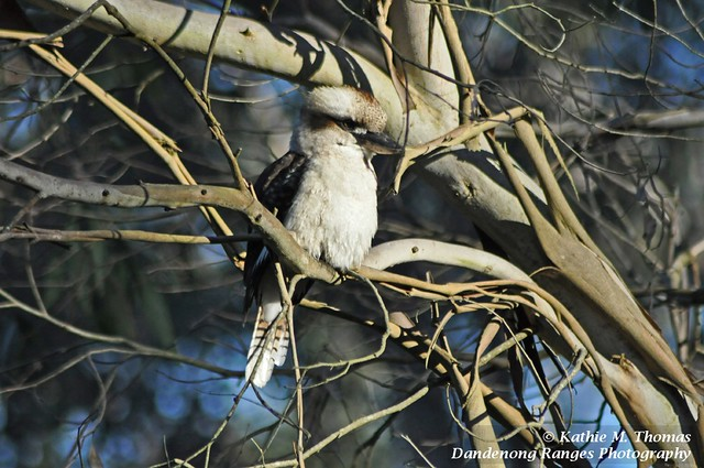 Kookaburra in early morning sun