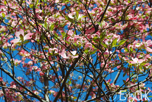 Pink Dogwood Blossoms on Capitol Hill in Washington DC