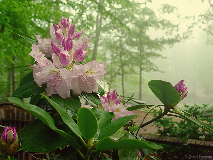 rhododendron fog