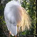 Cattle egret-3588