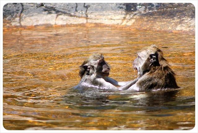 langkawi monkeys swimming