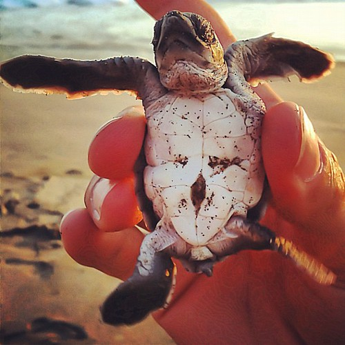 This is the baby turtle I set free today - Turtle Liberation event #Ventanilla beach #Mexico